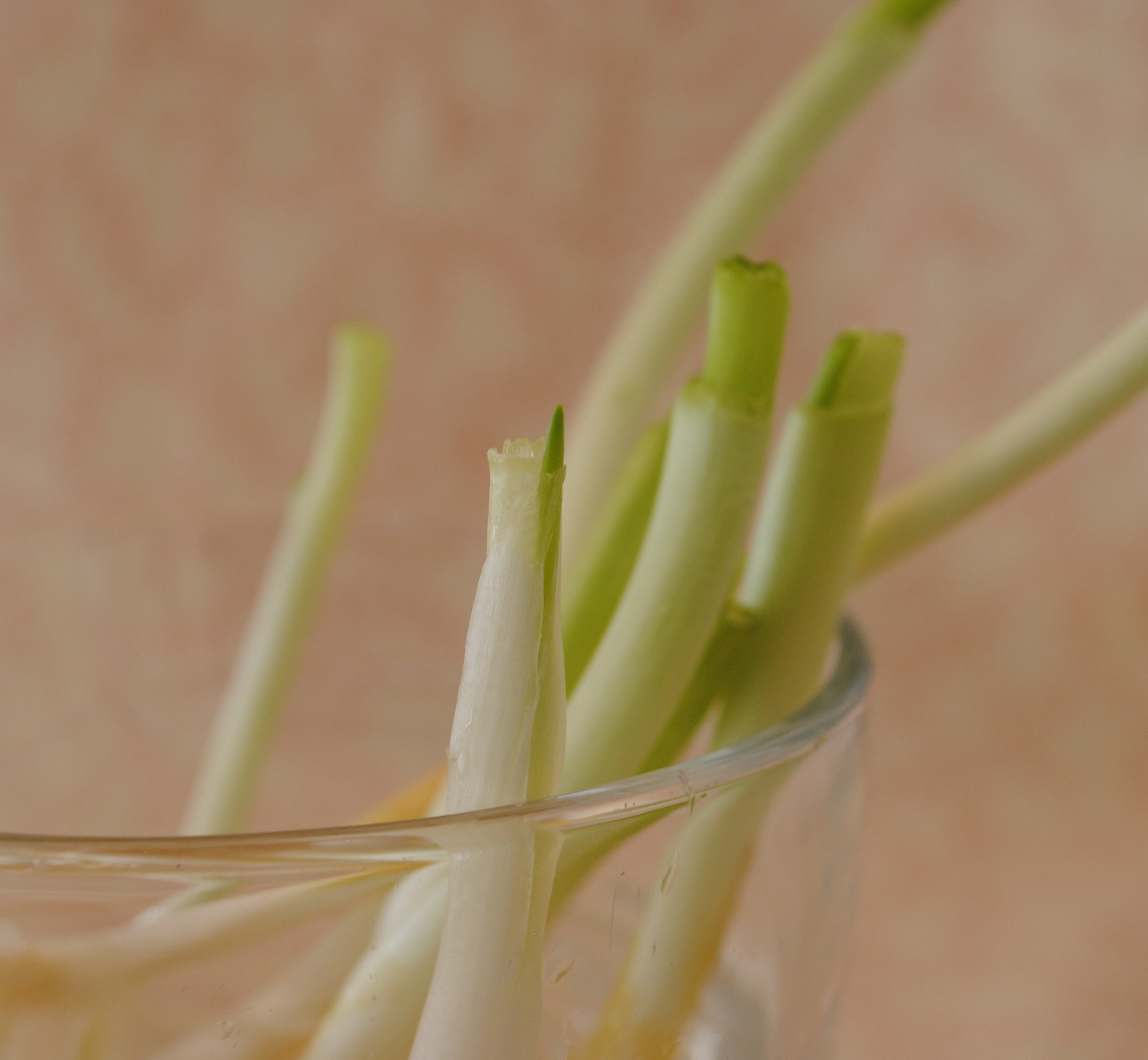 How to regrow scallions/green onions